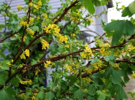 Golden currant one golden currant is adaptable to different garden conditions and has profuse yellow flower clusters mightylinksfo
