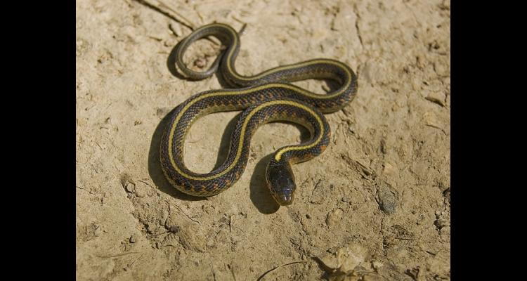 Garter Snakes | ONE